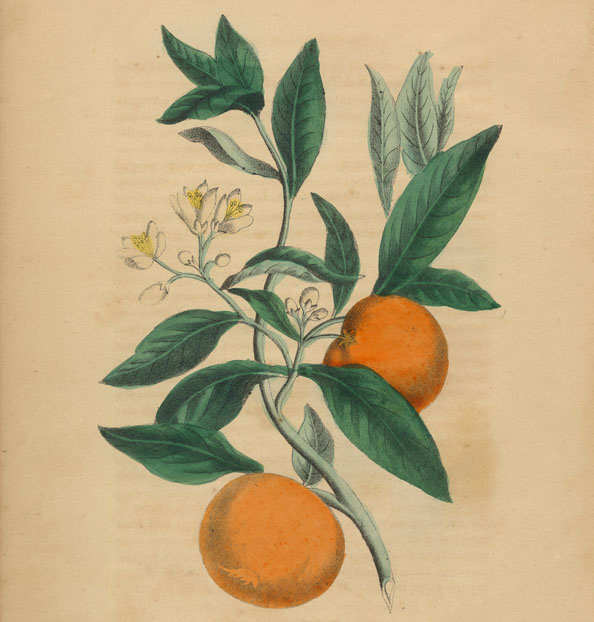citrus fruits in literature